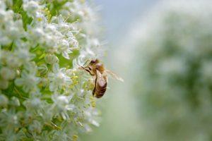 bijen in uien